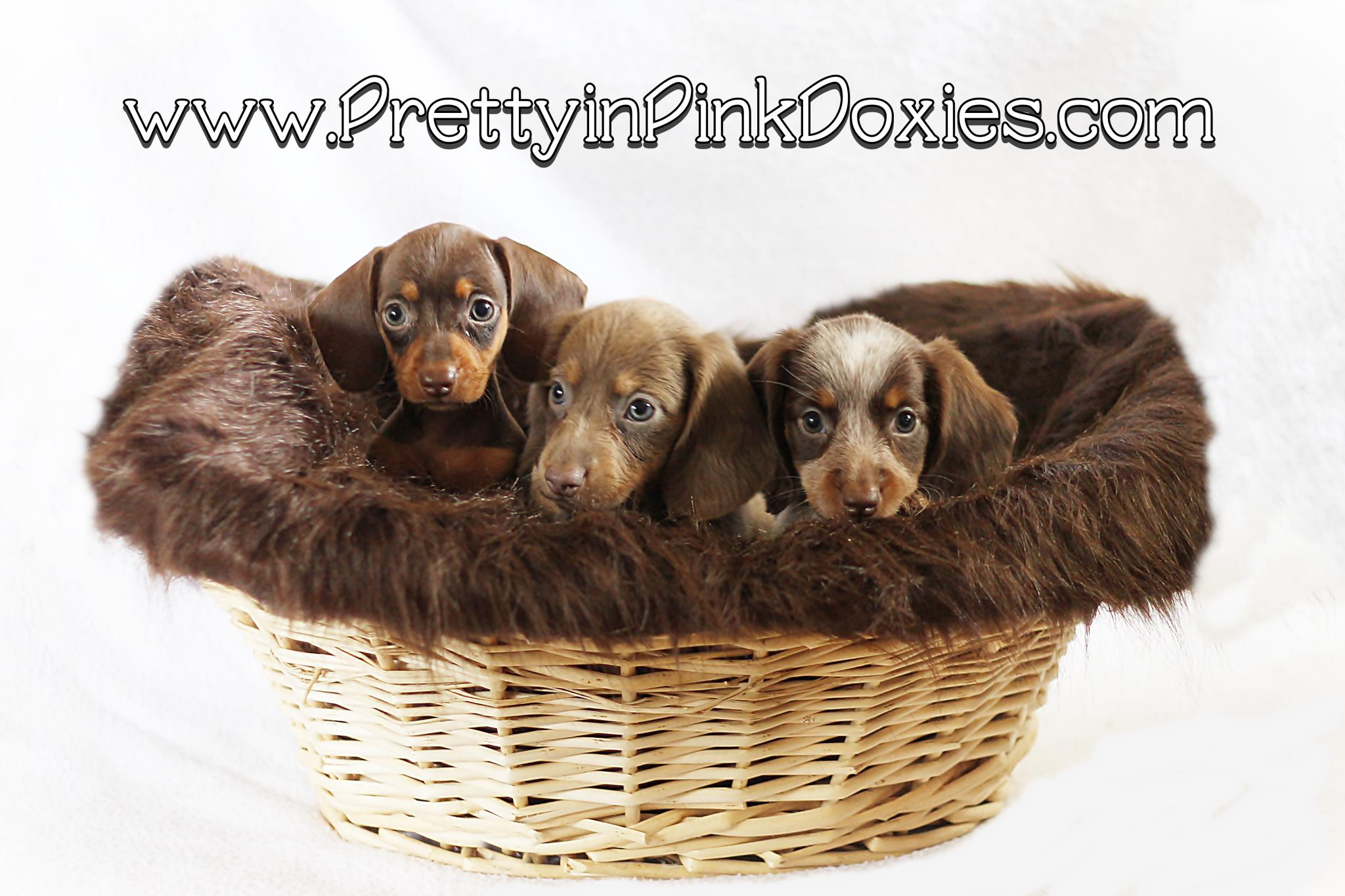 Pretty In Pink Doxies Akc Miniature Dachshunds Central Florida